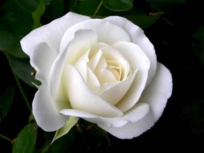 white-rose-meghann-andreassen